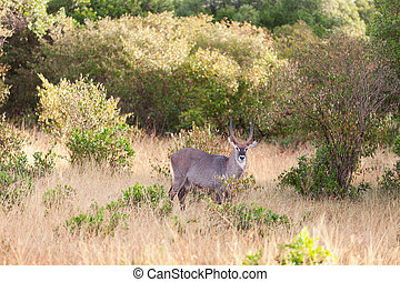 masai mara, waterbuck