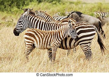 masai mara, zèbres