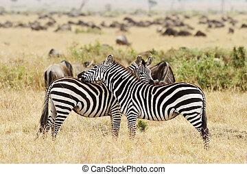 masai mara, zebras