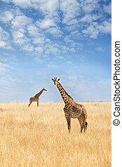 masai mara, zwei, giraffen