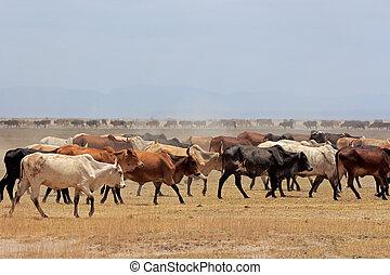 masai, vieh