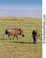 masai, warthogs, pastwiskowy, mara, dwa