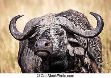 masai, weibliche , kap, kenia, büffel, mara