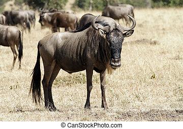 masai, wildebeest, mara