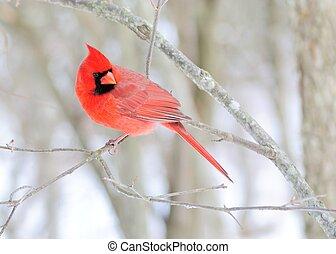 maschio, cardinale