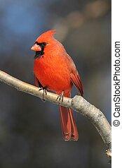 maschio, cardinale, ramo
