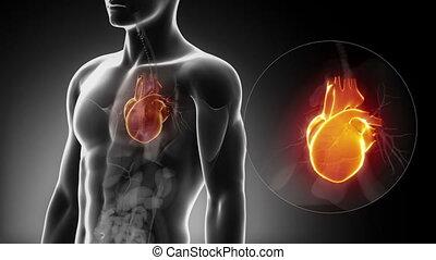 maschio, cuore, anatomia, in, raggi x