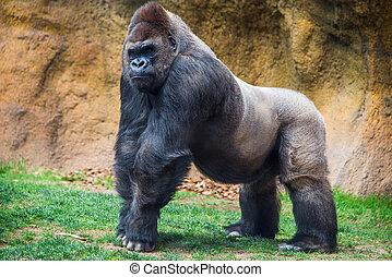 maschio, gorilla.