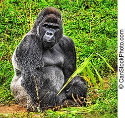 maschio, hdr, seduta, immagine, indietro, gorilla, presa a...