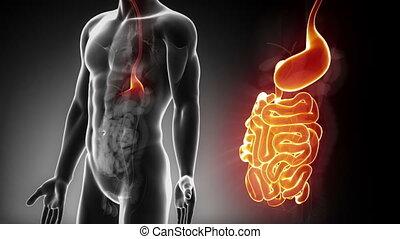 maschio, intestini, anatomia, in, raggi x