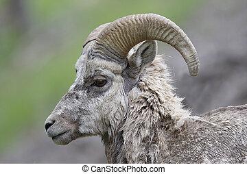 maschio, montagna rocciosa, pecora bighorn, -, banff parco nazionale, canada