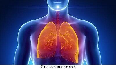 maschio, scansione, sistema respiratorio