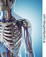 maschio, scheletro, e, sistema vascolare