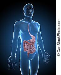 maschio, sistema, digestivo