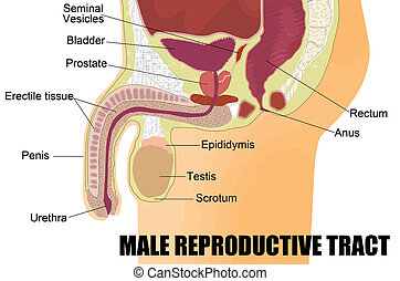 maschio, sistema, riproduttivo