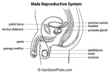 maschio, sistema riproduttivo