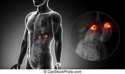 maschio, surrenale, anatomia, in, raggi x