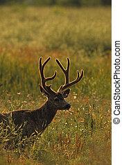 maschio, velluto, cervo, retroilluminato, mulo