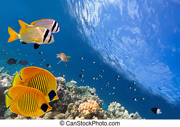 Masked Butterfly Fish and coral reef, Red Sea, Egypt