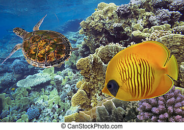 Masked Butterfly Fish and turtle