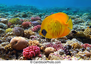 Masked butterfly fish (Chaetodon semilarvatus) and coral reef, Red Sea, Egypt