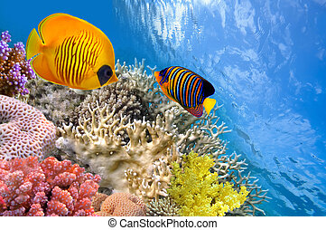 Masked butterfly fish (Chaetodon semilarvatus) and regal...