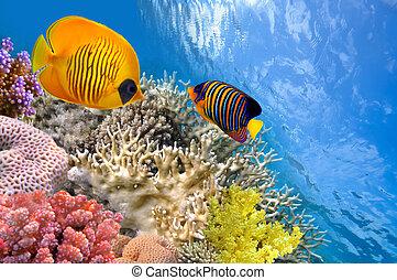 Masked butterfly fish (Chaetodon semilarvatus) and regal angelfish (pygoplites diacanthus).
