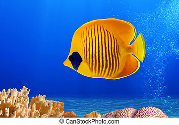 Masked Butterfly Fish (Chaetodon semilarvatus), Red Sea, Egypt