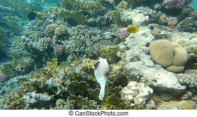 Masked puffer arothron diadematus Coral Reef Marsa Alam ...