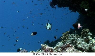 Masked puffer fish Arothron diadematus Tetraodontidae ...
