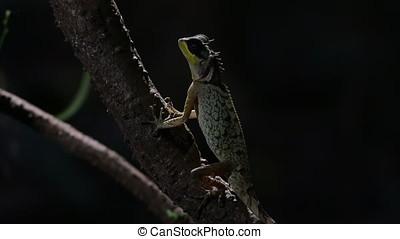 Masked Spiny Lizard Acanthosaura crucigera Reptile of...