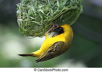 Masked Weaver Bird hanging from it's nearly completed nest