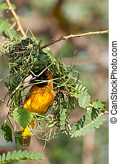 Masked Weaver Building Nest