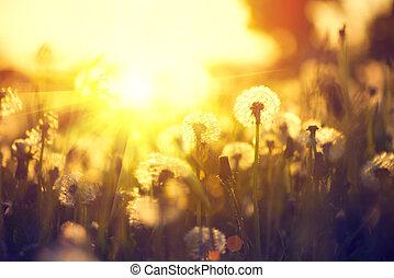 maskros, fjäder, över, fält, solnedgång, bakgrund
