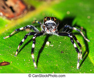Jumping spider (salticidae, unknown species) in the rainforest jungle of the Masoala National Park in Madagascar