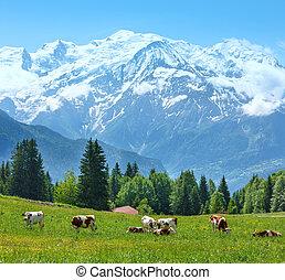massiv, berg, lichtung, blanc, mont, herde, ansicht, kühe