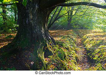 massive beech tree - beech tree trunk in an zutumn forest