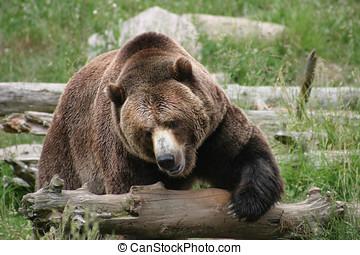 Massive Brown Bear - A very large brown bear makes its way...