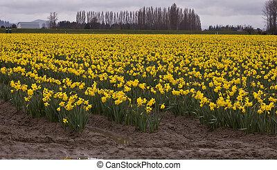 Massive Rural Field of Daffodils