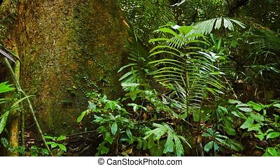 Massive Trunk of a Mature Tropical Tree in a Rainforest -...