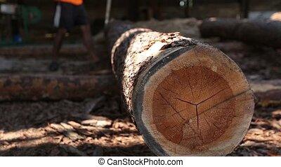 Massive wooden trunk rolling at sawmill - Lumberjack...