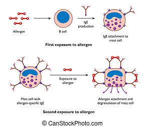 Mast cell action during allergy - labeled