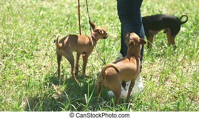 Master is running with her little chihuahuas. Three dogs are...