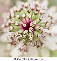 Masterwort or Astrantia flower in summer