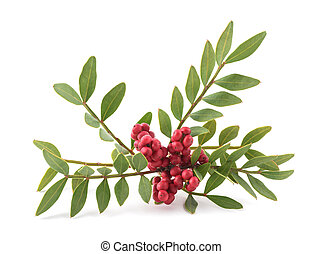 Mastic Tree with Red Berries - Pistacia lentiscus isolated on white background