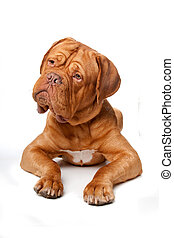mastiff), burdeos, de, dogue, (french