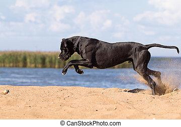 mastiff, chien, noir, plage, jouer