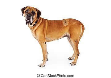 mastiff, chien, récent, chirurgie, cicatrices