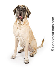 Mastiff Dog Isolated on White - Large Mastiff dog sitting...