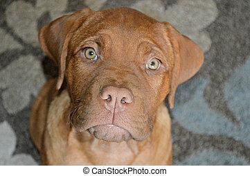 Mastiff puppy sitting pretty.